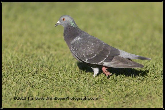 The ubiquitous Rock Pigeon, looking for handouts in La Jolla.