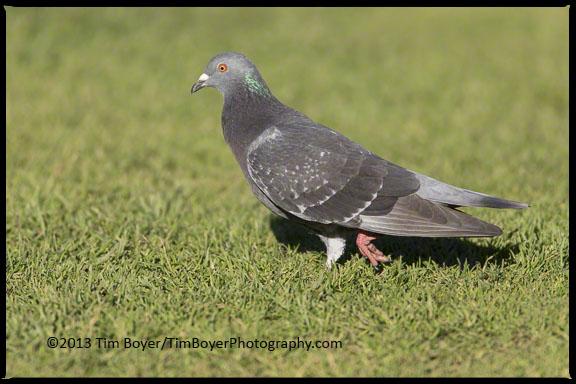 The ubiquitous Rock Pigeon, looking for handouts in La Jolla.