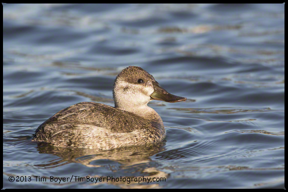 Ruddy Duck, Santee Lakes, CA