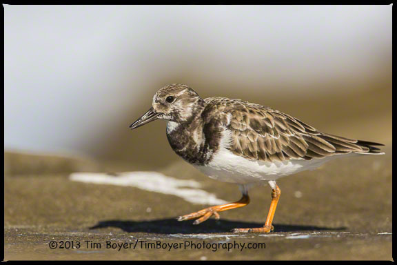 Ruddy Turnstone in basic or winter plumage foraging for lunch on the rocky La Jolla coast.