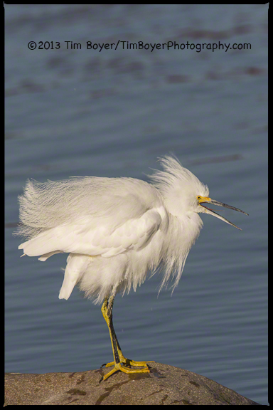 Snowy Egret, Santee Lakes, CA