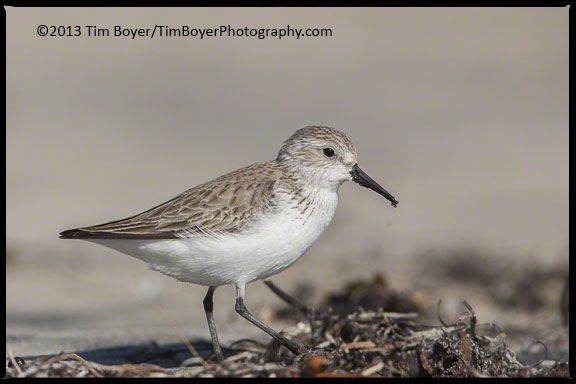 Winter plumage Western Sandpiper, foraging for food on the beache south of Coronado.