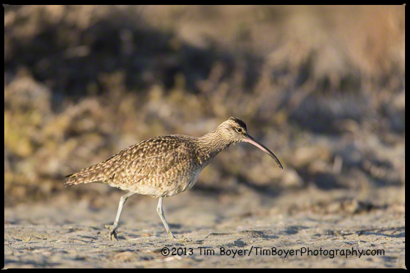 A Whimbrel searching for food along the San Diego River.