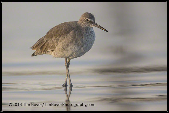 Willet on the beaches south of Coronado looking for food in the incoming tide.