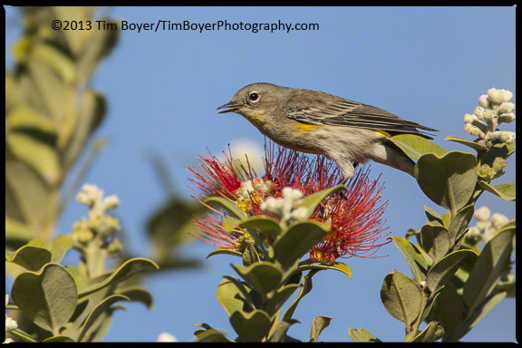 A yellow-rumped Warbler feeding.