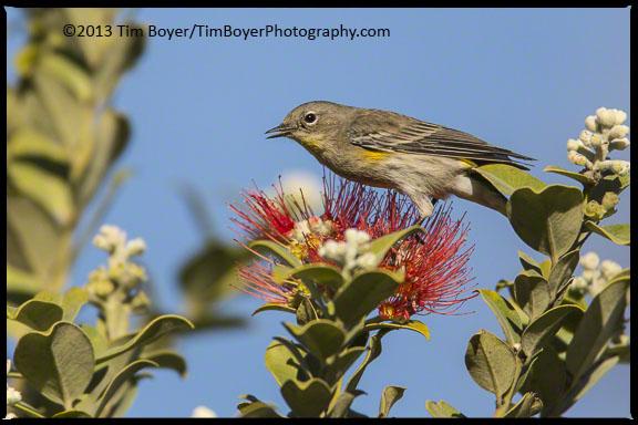A yellow-rumped Warbler feeding.