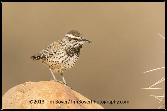Cactus Wren searching for food.