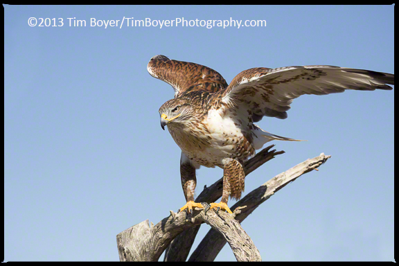 Ferruginous Hawks are one of the largest hawks of North America.