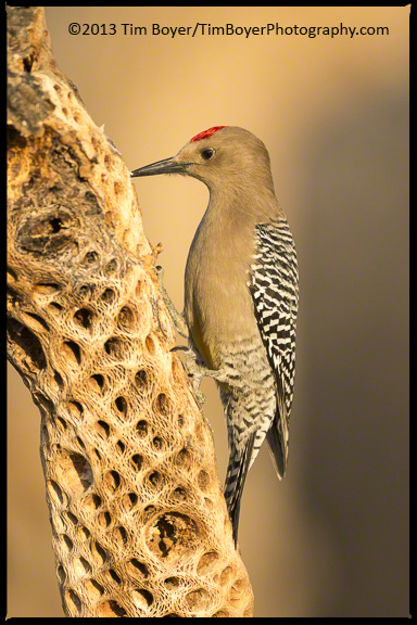 The Gila Woodpecker has to be one of the most beautiful of th e winter residents of the  southwest.