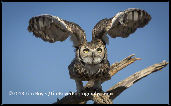 A Great Horned Owl taking off from a perch at the Arizona-Sonora Desert Museum.