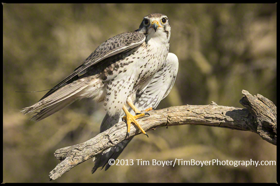 Prairie Falcon on the verge of taking flight.