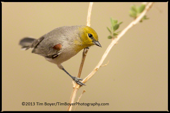Verdin look like they might be in the warbler family, but they're closer to Bushtits