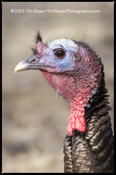 Wild Turkeys are abundant in the canyon near the bird feeders several lodges put out.