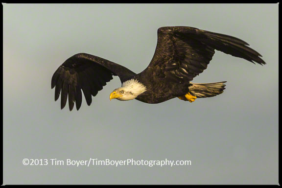 Adult Bald Eagle flying up the beach.