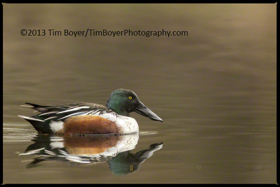 Northern Shoveler at The Old Fishing Hole Park, Kent WA.