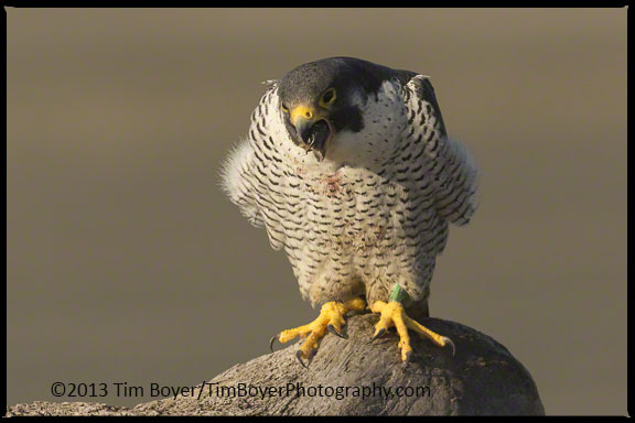 The pellet slowly emerges. As it looks like the Peregrine is choking.