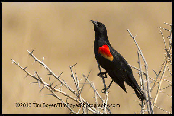 He's looking around to find the other male Red-winged Blackbird singing in the area.