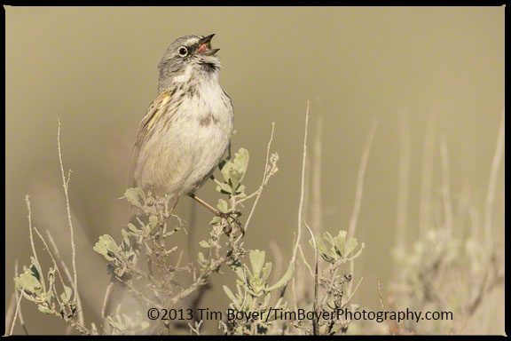 Sage Sparrow singing at Quilomene Wildlife Area, Old Vantage Highway, WA.