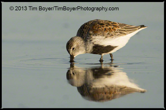 Dunlin in breeding plumage, feeding at Bottle Beach State Park, Grays Harbor, WA