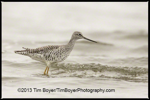 Greater Yellowlegs actively feeding at Bottle Beach State Park, Grays Harbor, WA.