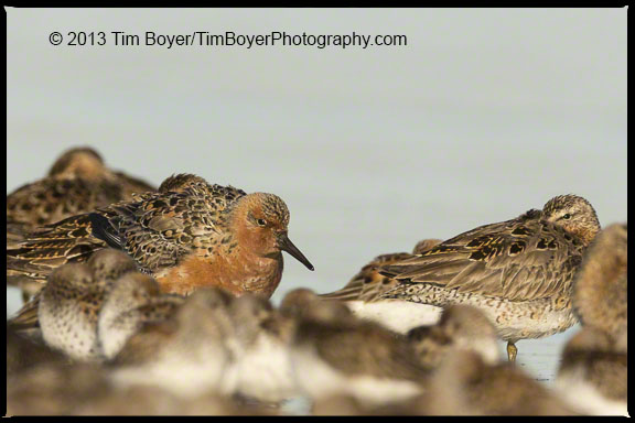 Red Knot, Bottle Beach State Park, Grays Harbor, WA with Short-billed Dowitchers and Western Sandpipers.