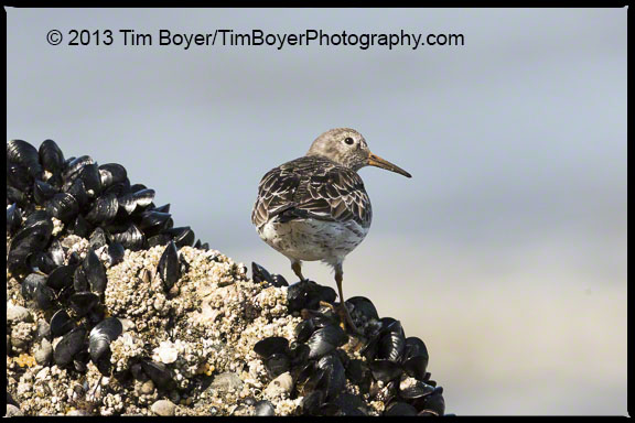 Rock Sandpiper North Jetty, Ocean Shores , WA
