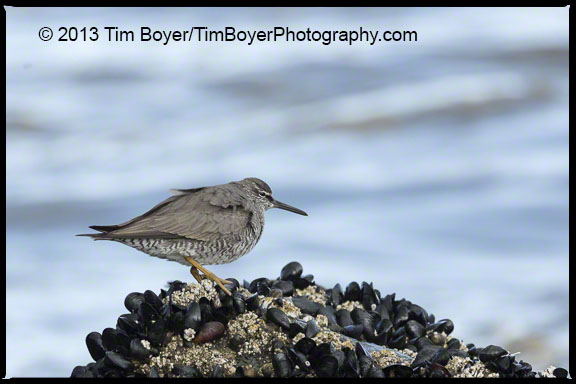 Wandering Tattler, North Jetty, Ocean Shores, WA in breeding plumage