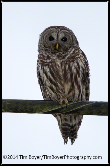 this Barred Owl came out about half-an-hour before sunset.