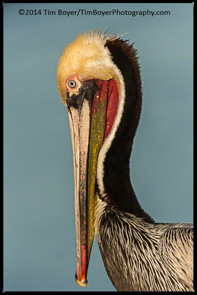 Brown Pelican, La Jolla, CA