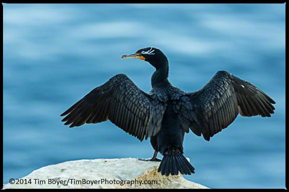 Double-crested Cormorant, La Jolla, CA