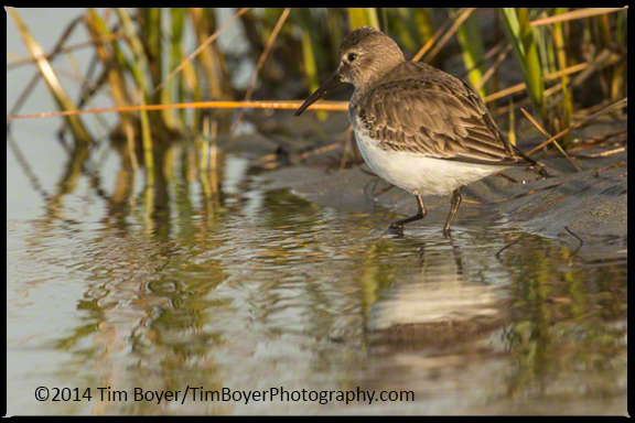 Dunlin foraging at the  edges of a pond.
