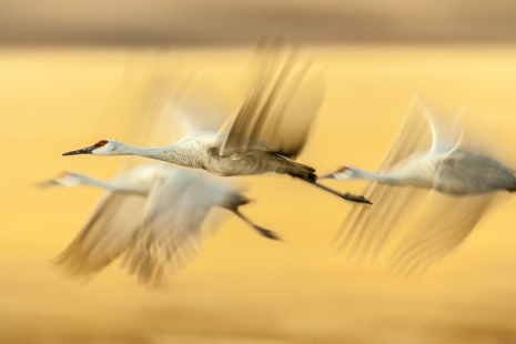 Sandhill Cranes leaving the corn fields they feed in during the day for the ponds they roost in during the night. Pan blur and slow shutter speed.