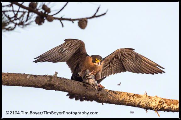 A female Peregrine Falcon in a pine tree.