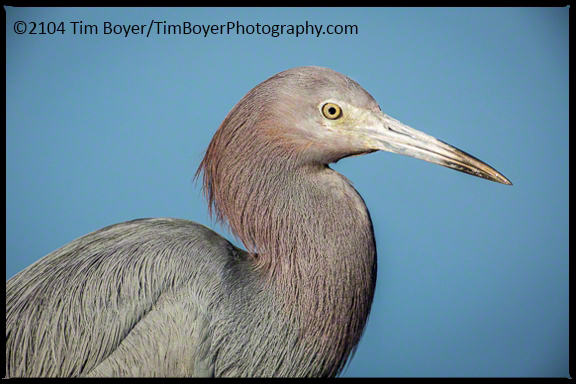 Little Blue Heron San Diego River.