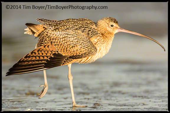 Long-billed Curlew stretching a wing.