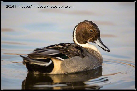 Northern Pintail, male.