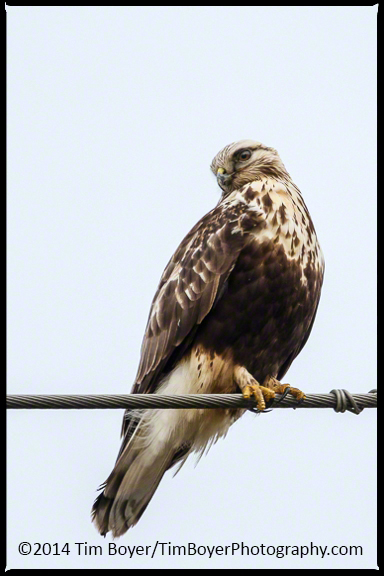 Rough-legged Hawk perched, this is the more noraml view we get of hawks on the  Skagit Flats.