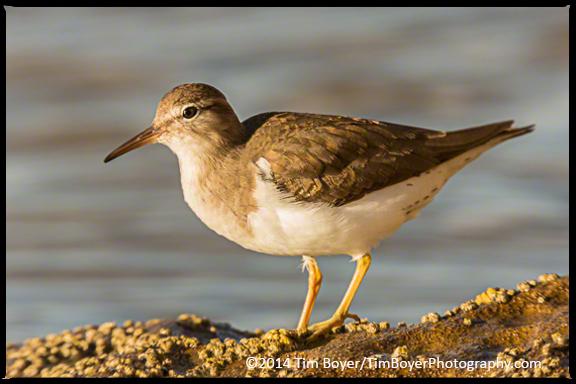Spotter Sandpiper, La Jolla, CA