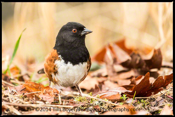 Spotted Towhee at Nisqually National Wildlfie Refuge.