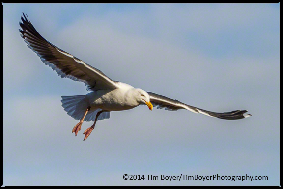 A Western Gull flys by to see if anyone will feed it.