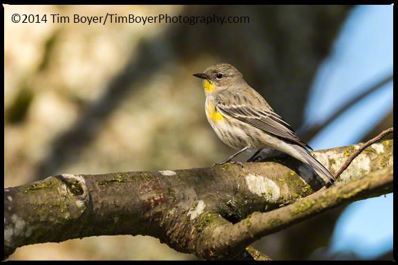 Yellow-rumped Warbler Cedar River Park, Renton.