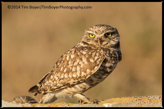 Burrowing Owl-7614