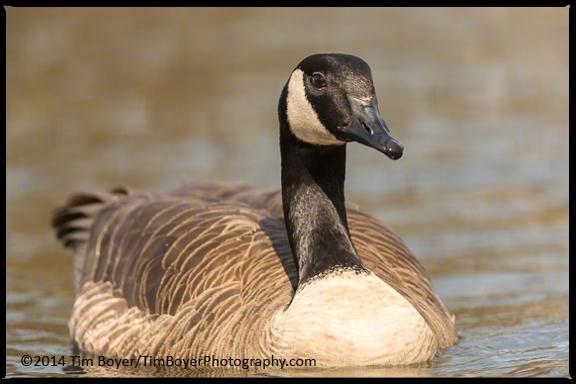 Lesser Canaada Goose,