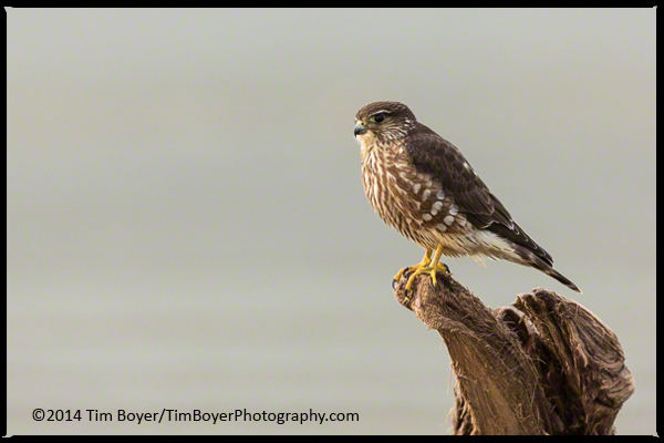Merlin perched on driftwood, watching for the next meal to flyby.