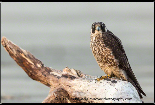 Peregrine Falcon watching the Dunlin as well as humans on the Washington Coast.
