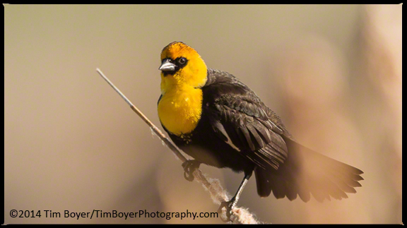Yellow-headed Blackbird calling from McNary National Wildlife Refuge.