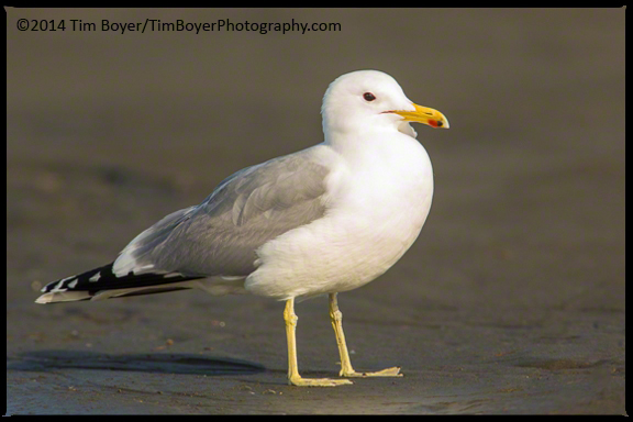 California Gull hanging out in some good Washington Coastal weather.