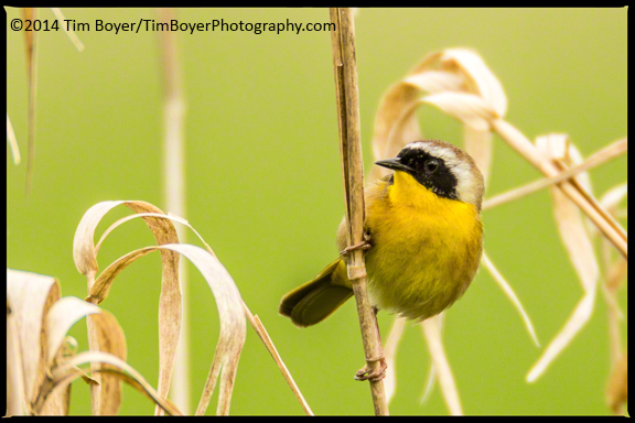 Common Yellowthroat at Samamish State Park.