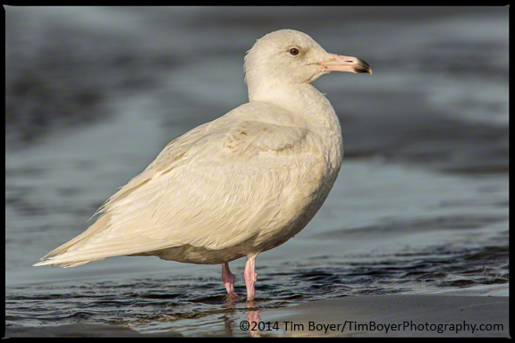 Glaucous Gull at Ocean Shores.