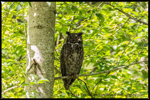 Great Horned Owl at Nisqually National Wildlife Refuge.